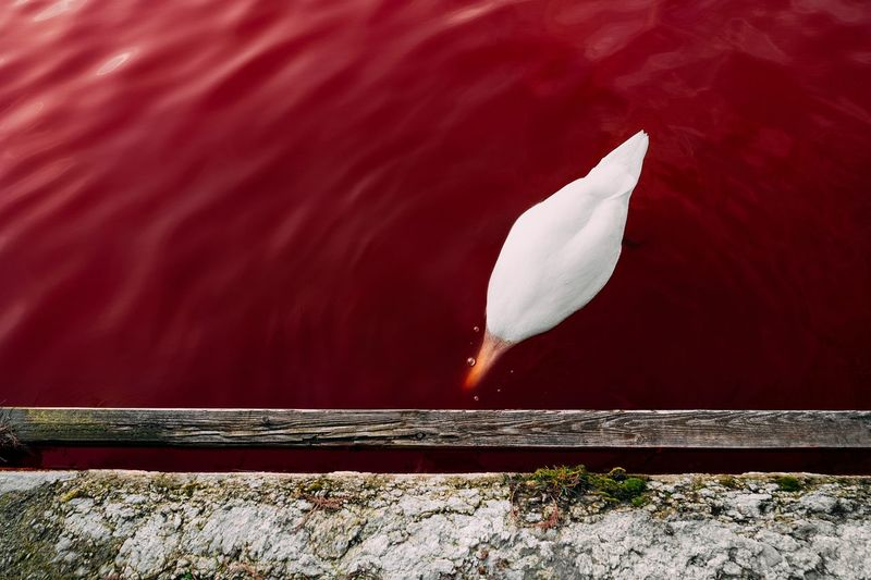 Swan swimming on water with red algae