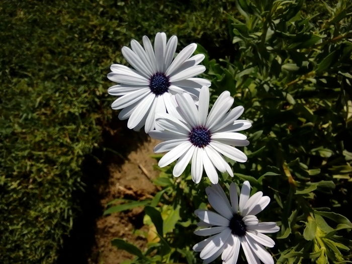 Flower Nature Beauty In Nature Flower Head Growth White Color Freshness Petal Fragility Outdoors No People Plant Close-up Day Osteospermum