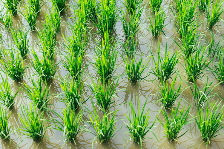 Neatly organized rice fields Agriculture Japan Lines Rice Backgrounds Day Freshness Full Frame Grass Green Color Growth Nature Neat No People Outdoors Plant