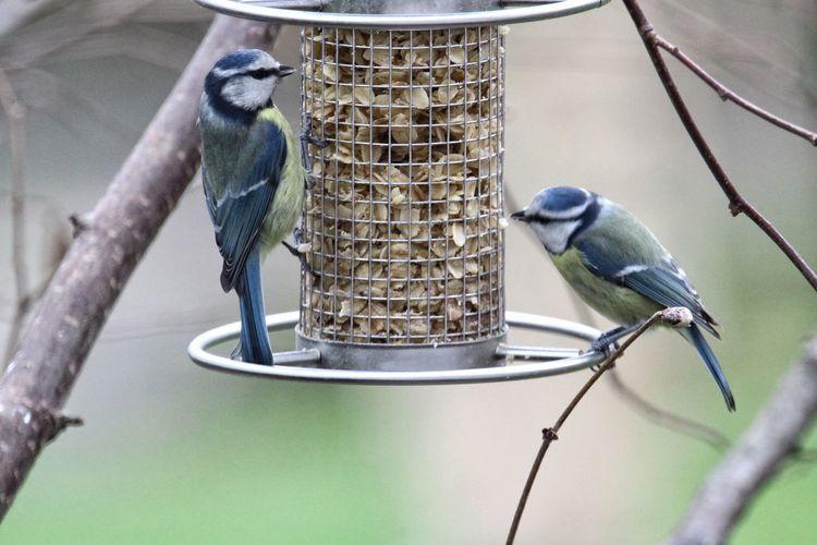 Blue tits perching on birdfeeder in yard