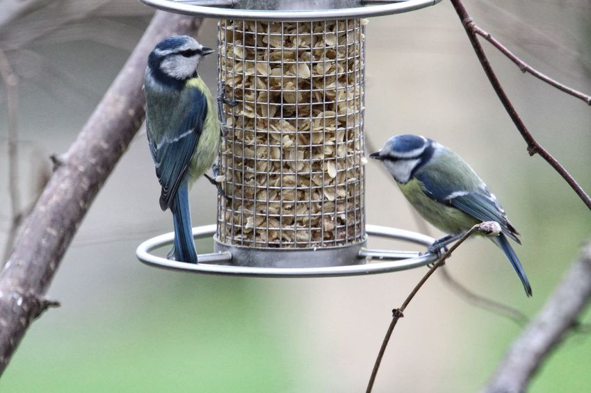 Grabbing a bite Animal Themes Animals In The Wild Bird Close-up Day Focus On Foreground Full Length Metal Metallic Nature No People Outdoors Perching Railing Rope Selective Focus Two Animals Wildlife Tomtit