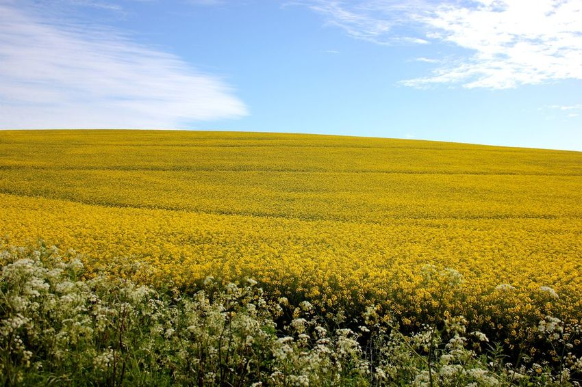 rapeseed field Agriculture Beauty In Nature Cereal Plant Cloud - Sky Crop  Cultivated Farm Field Flower Growth Horizon Over Land Landscape Meadow Nature Oilseed Rape Outdoors Plant Rural Scene Scenics Sky Springtime Summer Tranquil Scene Vibrant Color Yellow