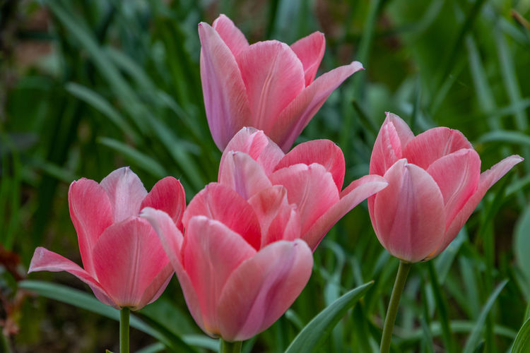 Close-up of pink tulips growing on field