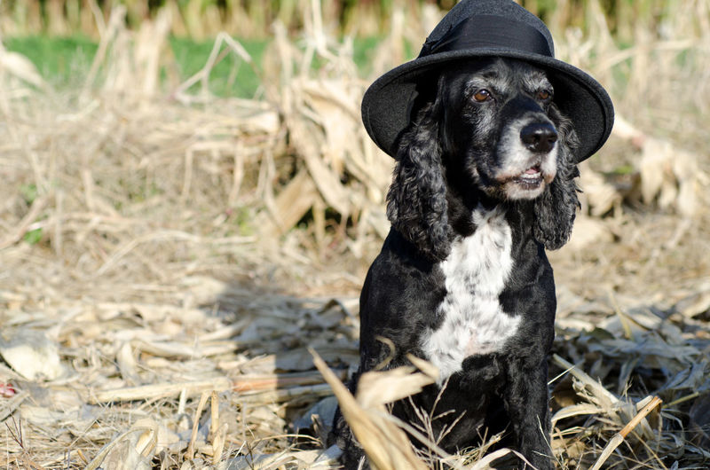 Dog with Hat Cocker Spaniel  Copy Space Elégance Proud Animal Animal Themes Black Color Canine Cute Day Dog Domestic Domestic Animals Field Focus On Foreground Land Looking Looking Away Mammal Nature No People One Animal Pets Sitting Vertebrate