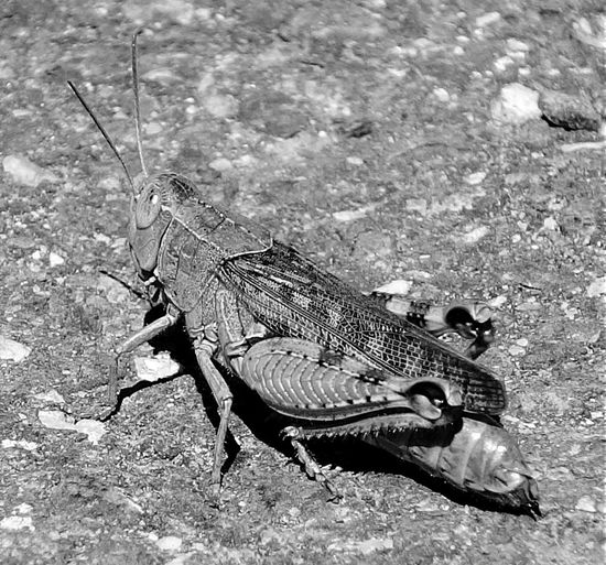 A cricket on a walk - Insects  Insect Nature Nature_collection Naturelovers Bw Blackandwhite Black And White Black & White Black&white Blackandwhite Photography Monochrome Blackandwhitephotography Animals Animal Animal_collection Animal Photography Grashopper EyeEm Nature Lover Nature Photography Black And White Photography Macro Macro_collection Wildlife Nature On Your Doorstep