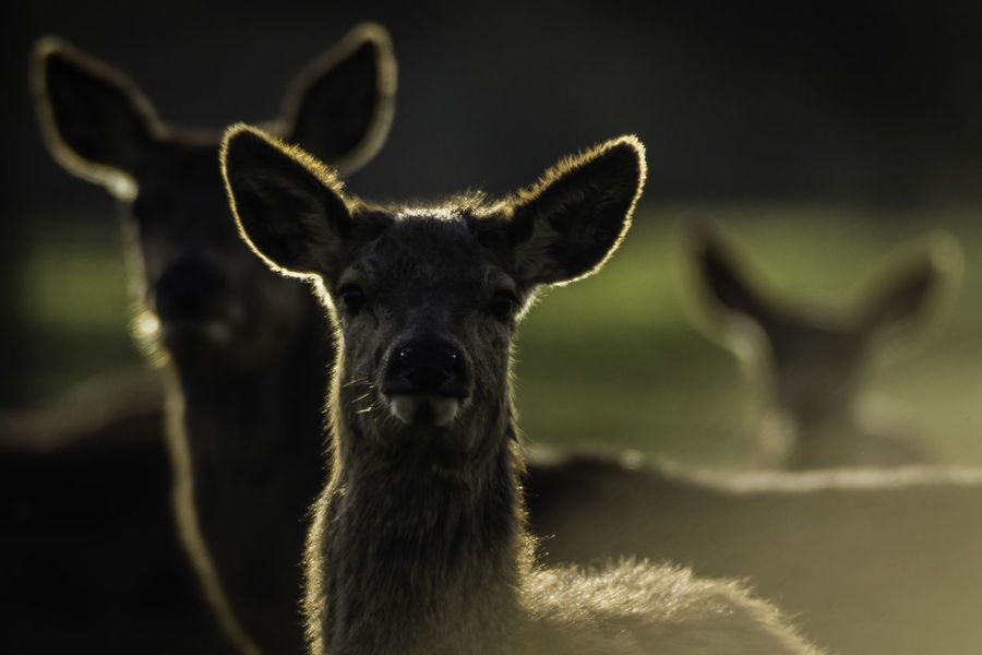 Backlit Red Deer Animal Themes Animals In The Wild Close-up Day Deer Focus On Foreground Front View Looking At Camera Mammal Nature No People Outdoors Portrait