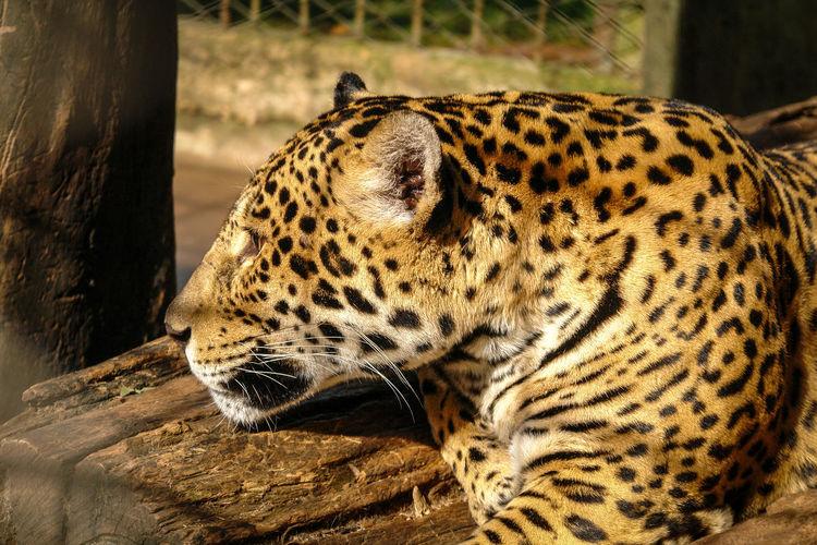 Animal Animal Themes Big Cat One Animal Feline Animal Wildlife Mammal Cat No People Carnivora Day Vertebrate Leopard Spotted Relaxation Animal Markings Nature Zoo Outdoors Whisker Animal Head  Panther JAGUAR Jaguarete