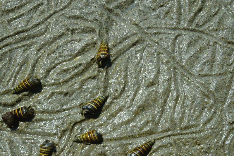 干潟と貝 Mud Snails Mudflat Nature