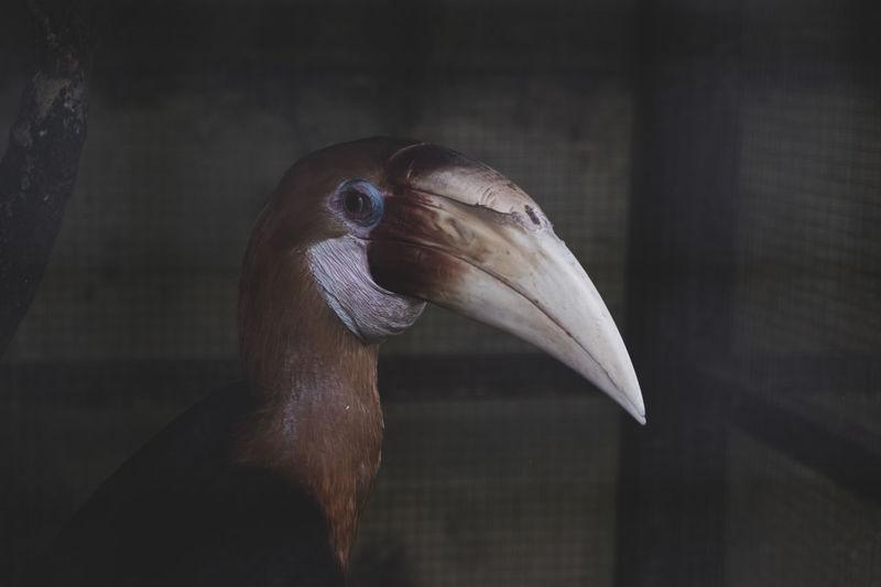 Close-up of a rangkong bird,  rare bird