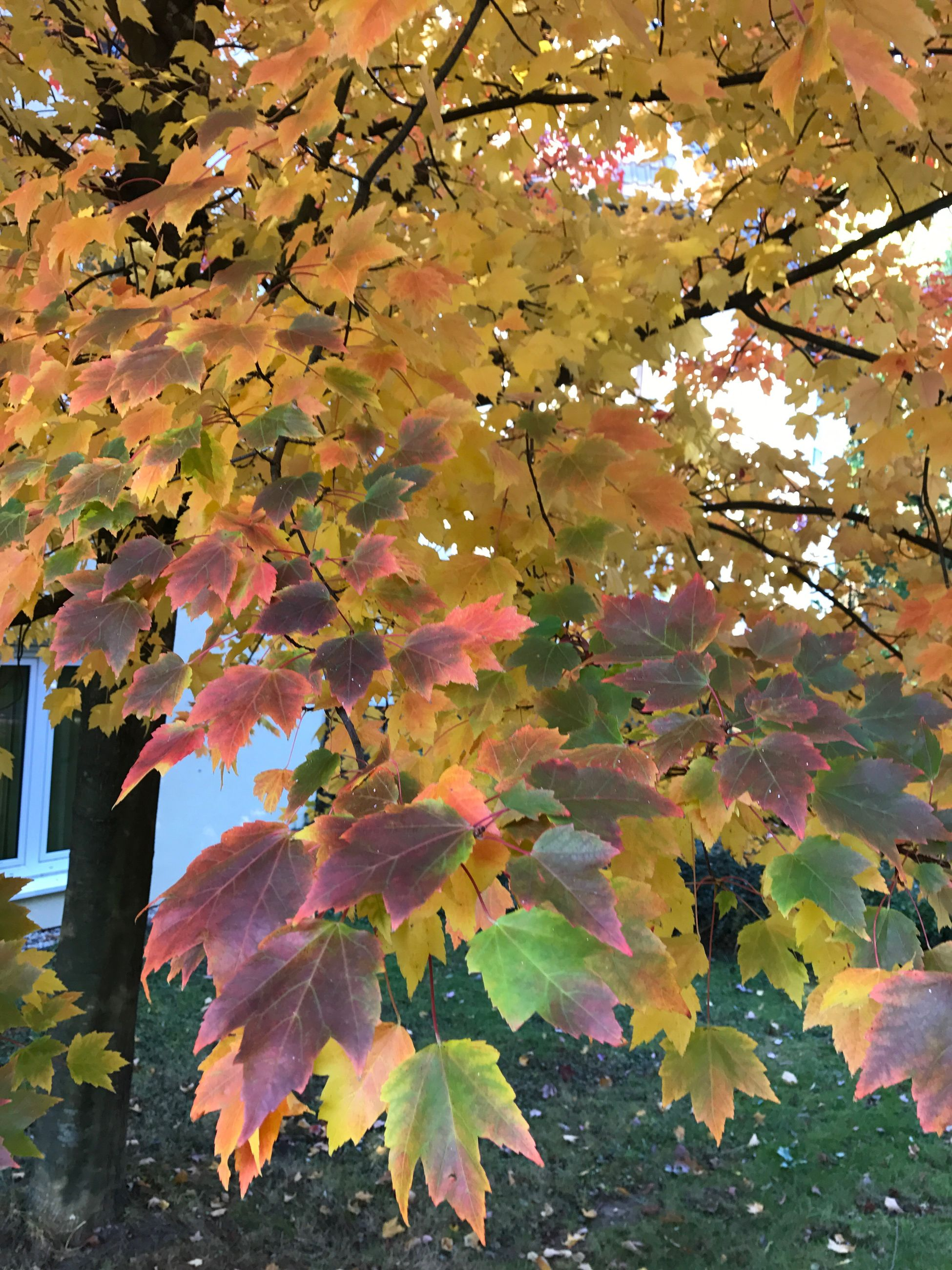 leaf, tree, branch, change, autumn, growth, season, close-up, low angle view, beauty in nature, day, nature, maple tree, freshness, outdoors, green color, scenics, springtime, fragility, leaves, natural condition, vibrant color, tranquility, majestic, green, pink color, growing, no people
