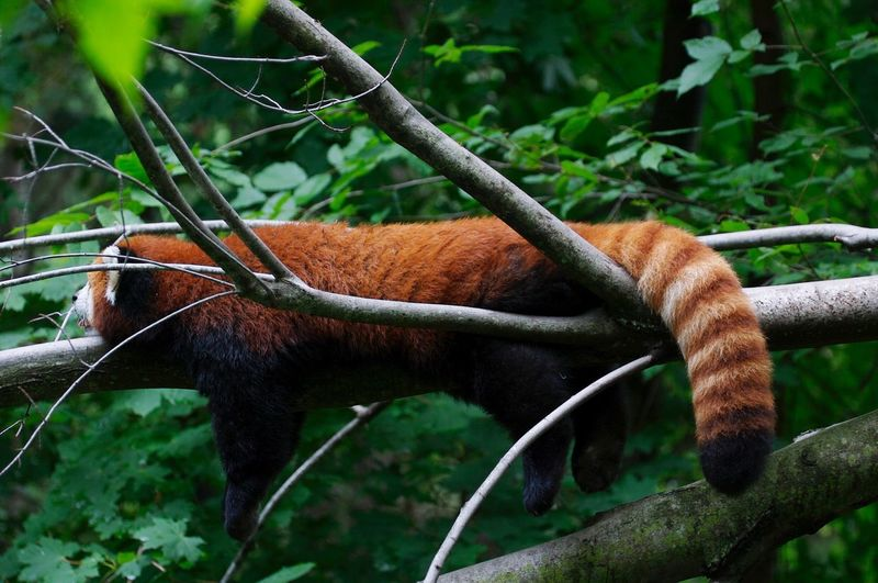 Side view of a red panda on branches