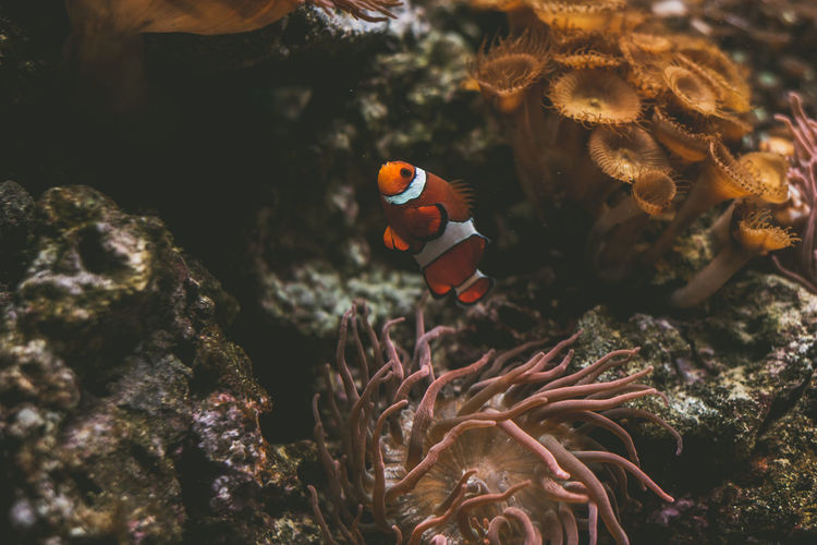 High Angle View Of Clown Fish By Coral Swimming In Sea