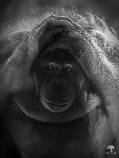 Animals Safari Anoying Sad Face Gorilla Black And White