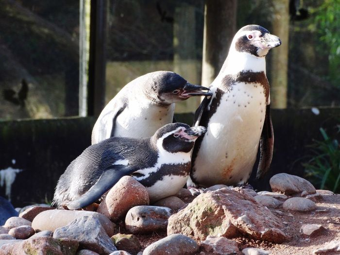 Penguins on rocks. Zoo Animals Group Of Animals Birds Rocks Humboldt Penguin Penguins Animal Themes Animals In The Wild Bird Animal Wildlife No People Rock - Object Day Outdoors Nature Penguin Close-up Togetherness Mammal Perching