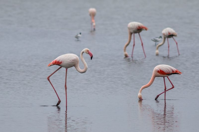 Flamingo birds in shallow water