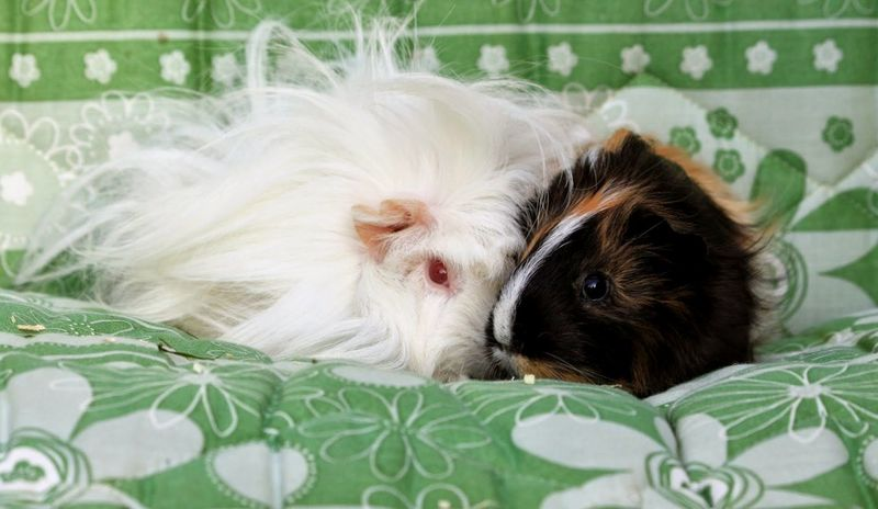 Animal Animal Themes Domestic Animals Guinea Pig Guinea Pigs Guineapig Guineapiglove Mammal Pair Pets Relaxation Resting Two Animals