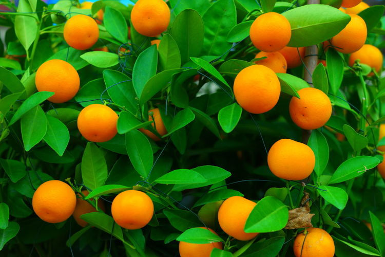 High angle view of oranges growing on plant