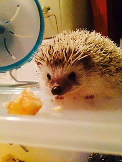 Hedgehog My Pet Cheese! Hello World
