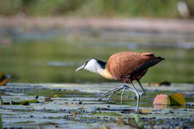 African jacana (Actophilornis africanus) Birds Of Africa EyeEm Birds EyeEm Nature Lover African Jacana Animal Animal Themes Animal Wildlife Animals In The Wild Beauty In Nature Bird Close-up Day Focus On Foreground Lake Nature No People One Animal Outdoors Perching Selective Focus Side View Vertebrate Wader Water Water Bird