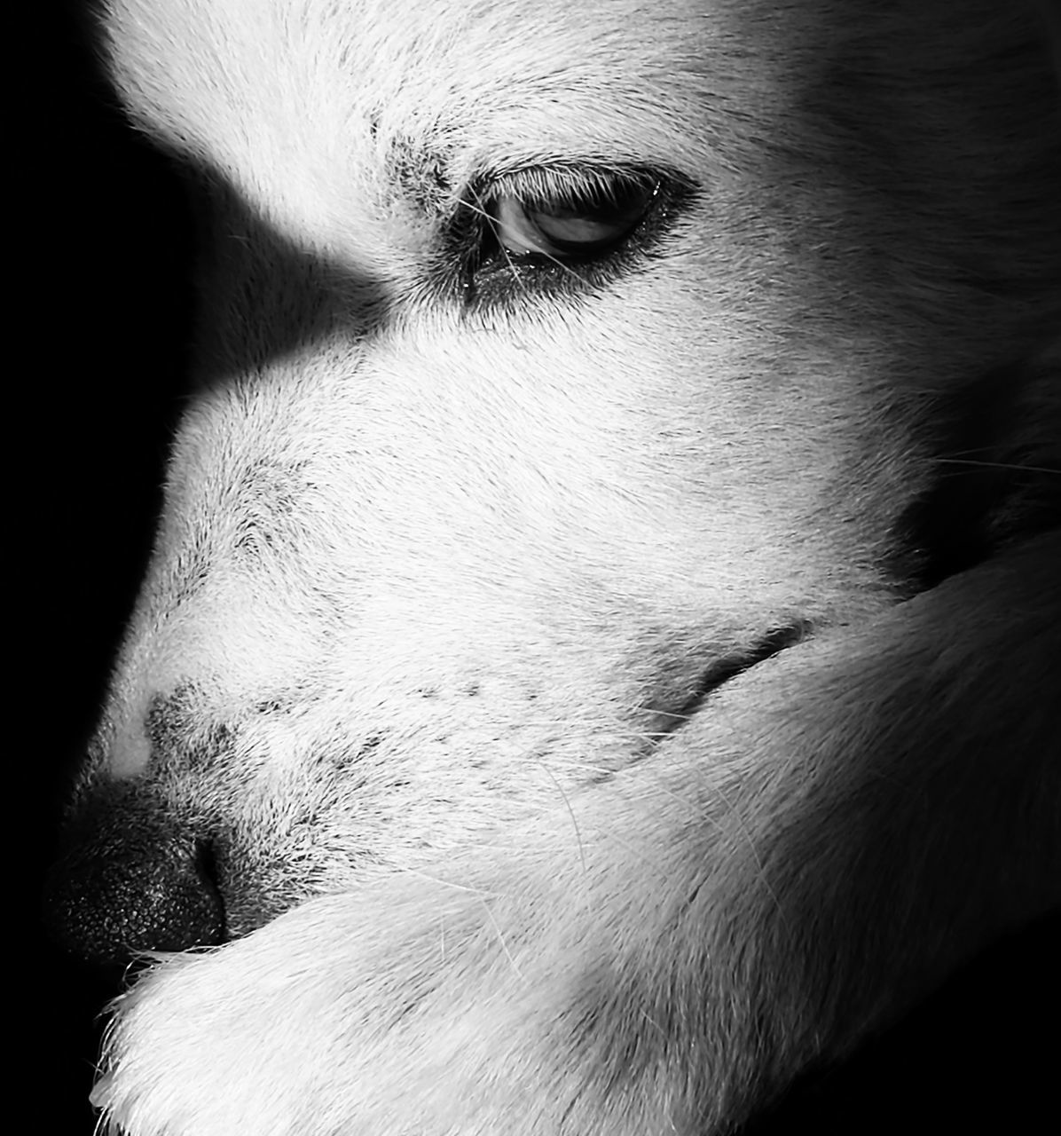dog, pets, one animal, domestic animals, animal themes, mammal, animal head, close-up, no people, day, portrait, outdoors, black background, beagle