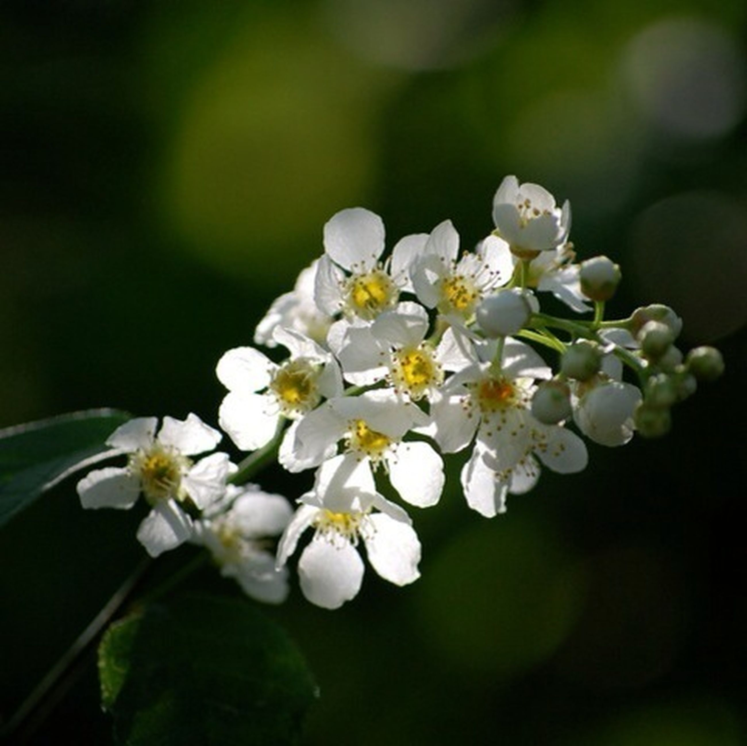 flower, freshness, white color, fragility, growth, petal, focus on foreground, beauty in nature, close-up, flower head, nature, blossom, blooming, cherry blossom, in bloom, selective focus, stamen, branch, white, apple blossom