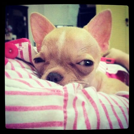 Chihuahua Babyelmo Applehead Dogstagram petstagram dogs petoftheday dogoftheday instago instadaily iphoneography webstagram instagood pawtraits