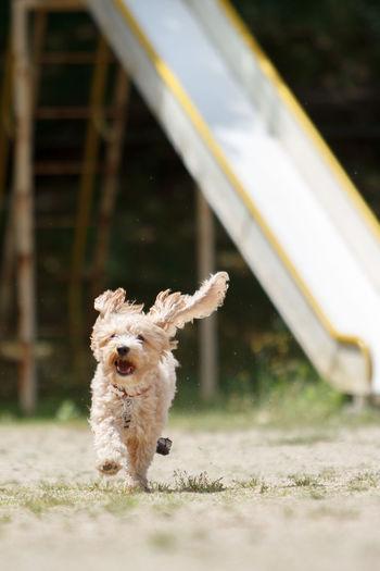 Dog Running At Playground