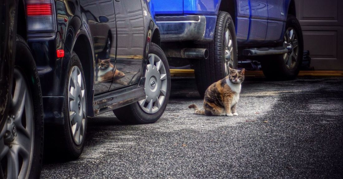 I found a Penny in the road. She let me pet her. Kitty Cat Reflection Cars Driveway Rural Scenes Calico