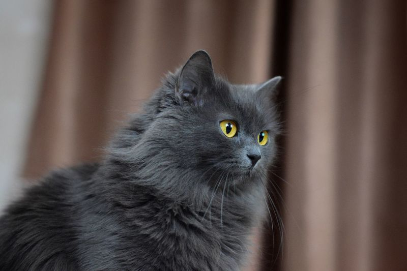Domestic Pets Animal Themes Domestic Cat Domestic Animals Cat Animal Focus On Foreground Looking Away Animal Body Part Gray Close-up Looking Vertebrate Black Color Indoors  Whisker One Animal Mammal Feline