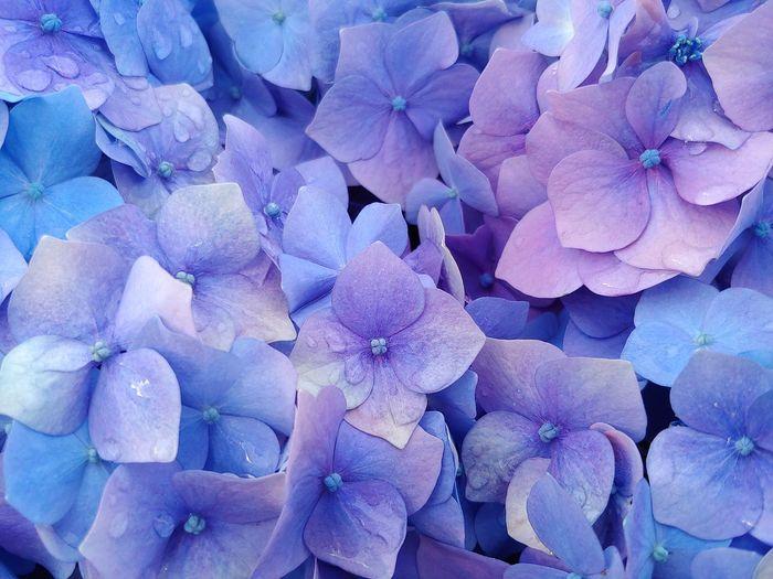 Full frame shot of fresh purple hydrangeas