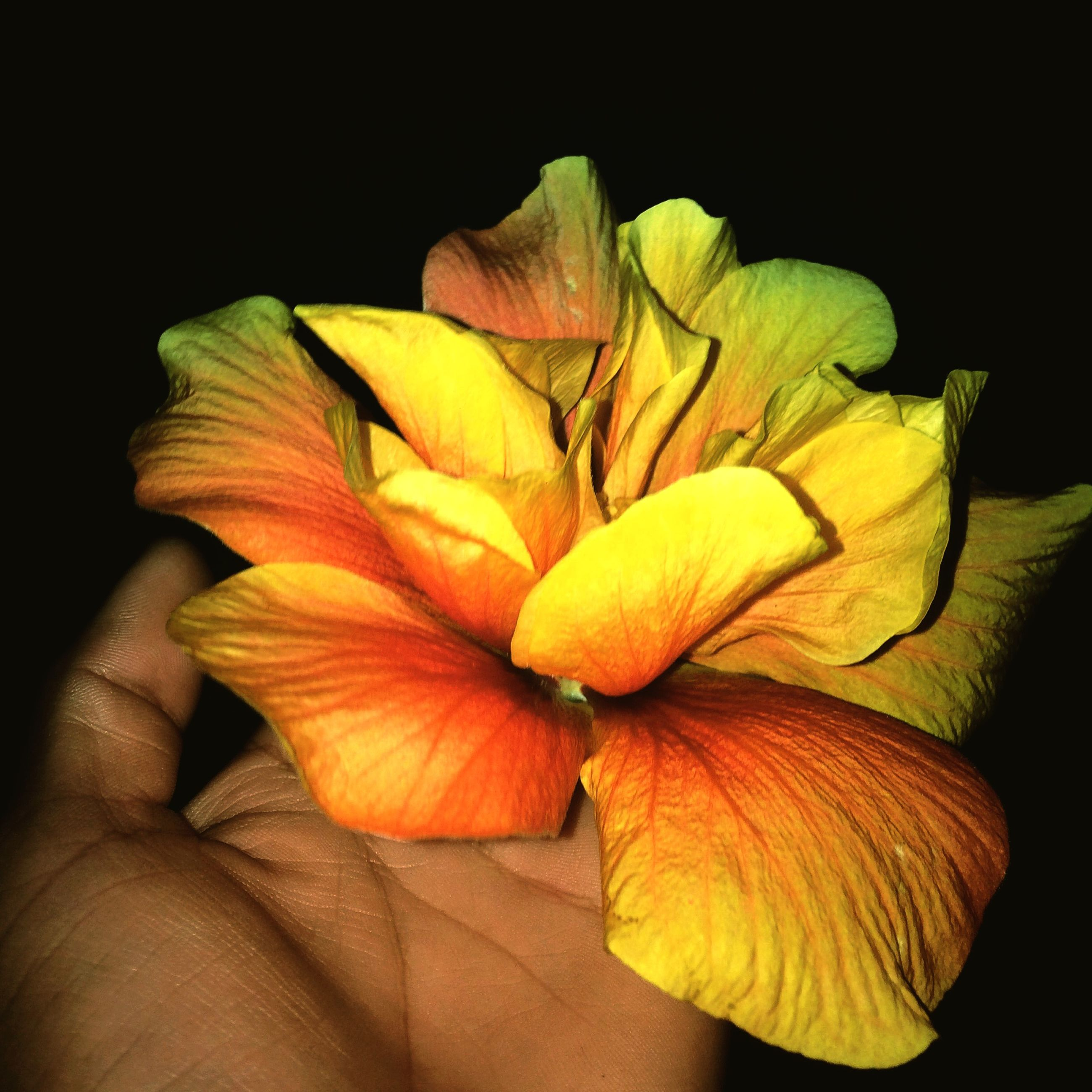 flower, petal, flower head, freshness, fragility, yellow, close-up, beauty in nature, single flower, studio shot, nature, black background, growth, orange color, stamen, plant, blooming, blossom, pollen, indoors