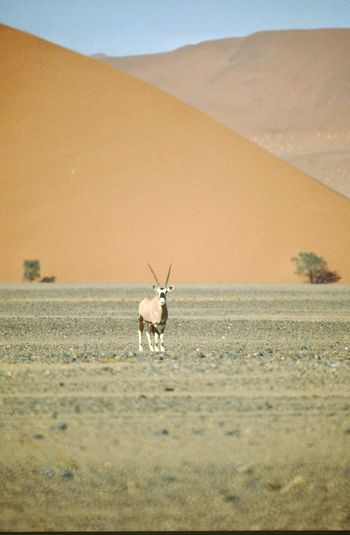 An Oryx in the Namib Desert :: Deserts Around The World Namibia EyeEm Nature Lover Nature_collection Desert Vanishing Point Landscape_Collection Being A Tourist Sand Dunes Dunes