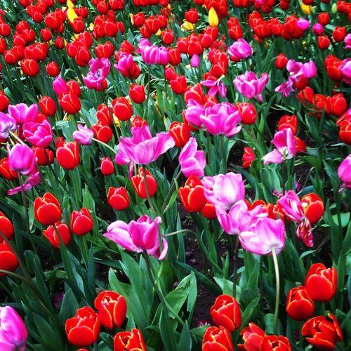 Tulips~
