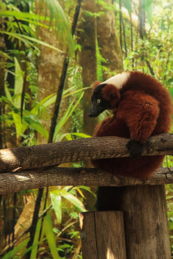 Red Ruffed lemur Varecia rubra perches on a tree limb and snacks on fruit. This primate is native to Madagascar. Nature Tree Animal Themes Animals In The Wild Day Endemic Lemur Madagascar  Mammal Nature No People One Animal Outdoors Primate Red Ruffed Lemur Simian Varecia Rubra Wildlife