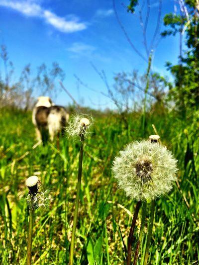 My Dog Dandelion Dandelions Enjoying Life Springtime Spring Flowers Spring Into Spring Spring Escaping Happiness Beautiful Relaxing
