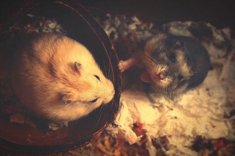 Tris&Quattro Hamsters Romantic Mood Beginner Lastwinter