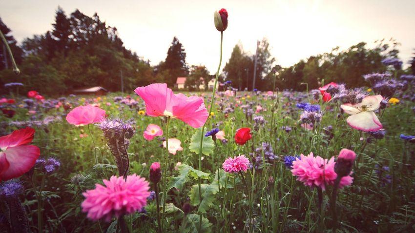 Poppyfield Flower Field Flower Head Pink Color Poppy Flowers Poppy Love Poppies🌸