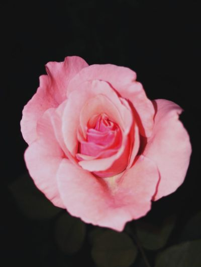 Rose♥ Roses🌹 Pink Flower Night Photography Garden Photography My Flowers Collection Summer Roses Pink Beauty Taking Photos