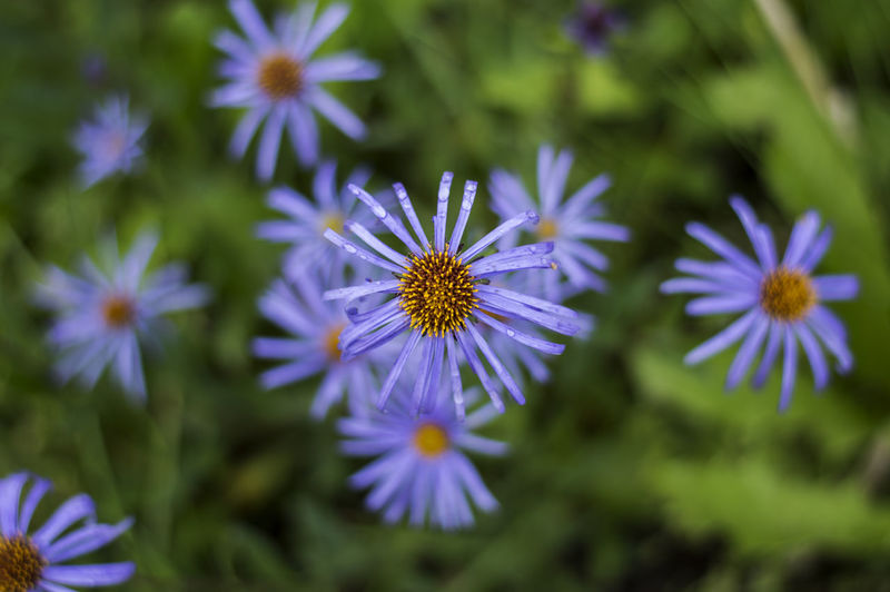 Aster Aster Amellus Aster Flower Aster Flowers Beauty In Nature Blooming Blue Bokeh Bokeh Photography Close-up Flower Flower Bokeh Flower Head Flowers Nature Outdoors Petals