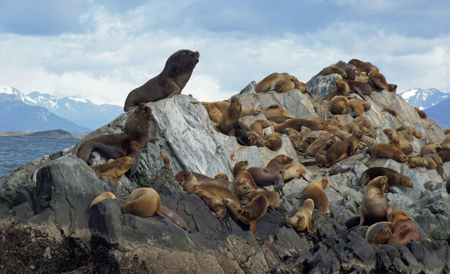 Patagonian Sea Lions, Beagle Channel, Patagonia, Argentina, South America Animal Animal Themes Animal Wildlife Animals In The Wild Argentina Beagle Channel Coast Coastline Day Nature No People Otaria Flavescens Outdoors Patagonia Patagonian Sea Lions Rocks Sea Sea Lions South America South American Sea Lion Tourism Tourist Attraction  Travel Destinations Tree Wildlife