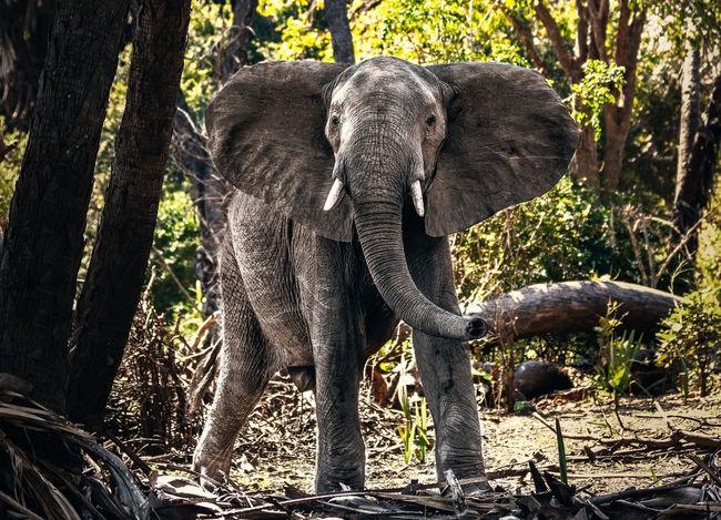 African elephant Nature Africa Animal Animal Themes Animal Trunk Animal Wildlife Animals In The Wild Day Elephant Forest Herbivorous Mammal Nature No People One Animal Outdoors Safari Animals Standing Sunlight Tree Trunk Tusk Vertebrate Wilderness Wildlife