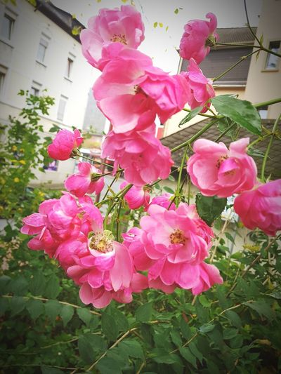 Pink Color Flower Outdoors Building Exterior No People Nature City Flower Head Close-up Fragility Built Structure Beauty In Nature Day Petal Growth Blooming Peony  Flower Photography EyeEm Gallery