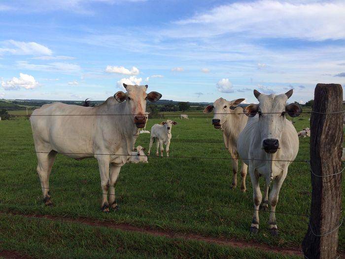 Cows on field by fence against sky