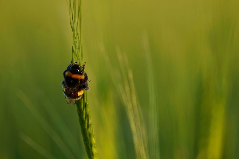 Close-up of bee pollinating on grass