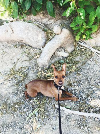 Mini pinscher - Kira descansando tras un largo paseo, un sábado por la mañ bien se está a la sombra. Domestic Animals, Pets, Animal Themes Dog Mini Pincher Mini Pinscher