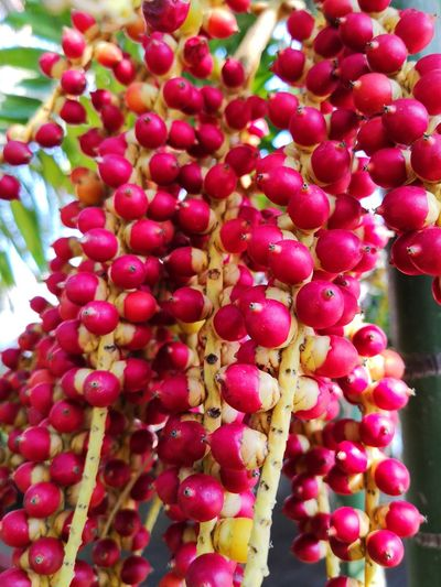 Foto Celular Flower Head Fruit Red Flower Pink Color Close-up Plant Pink Plant Life Botany Flower Tree