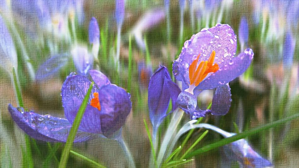 Textured  Crocus Meadow Showcase March Krokus Springtopic Colorful Atmosphere Spring Fruehling Impression Pastel Power Edit Flowers Dew Drops Morning Sunshine Village Easter Frühlingserwachen Fresh Growing Up Picturing Individuality Wilderness Blooming
