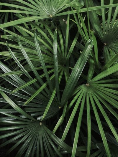 Full Frame Shot Of Palm Leaf