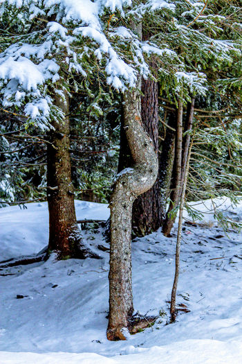 Bright Nature Tree Trunks Trees Beauty In Nature Cold Temperature Coniferous Tree Day Frozen Nature Nature_collection No People Outdoor Photography Outdoors Snow Strange Forms Of Nature Tranquil Scene Tree Trunk Winter