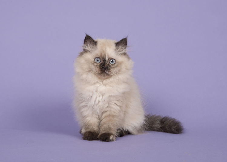 Seal point persian longhair kitten with blue eyes sitting on a purple background Cute Cat Persian Cat  Animal Animal Themes Cat Colored Background Cute Kitten Feline Kitten Looking At Camera One Animal Persian Kitten Pets Purebred Cat Purple Sitting Studio Shot Whisker
